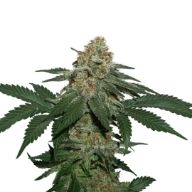 Grandaddy Confidential Kush by Seed Stockers