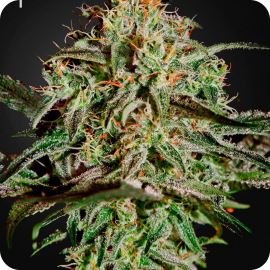 A.M.S. by Green House Seeds