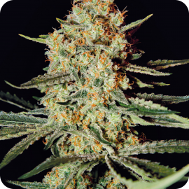 Himalaya Gold by Green House Seeds