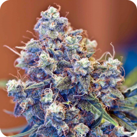 ICED Grapefruit by Female Seeds