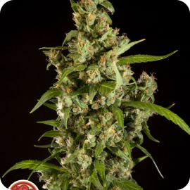 Jamaican Blueberry BX by Philosopher Seeds