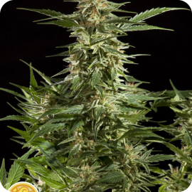 Lemon Auto CBD by Philosopher Seeds