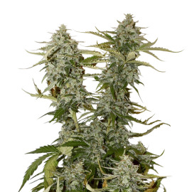 O.G. Candy Down Kush by Seed Stockers