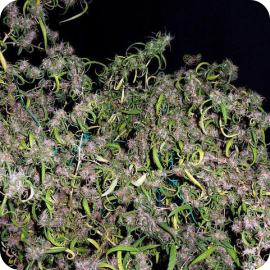 Purple Haze by Ace Seeds