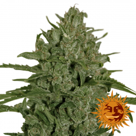 Triple Cheese™ by Barney´s Farm