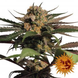 Violator Kush™ by Barney´s Farm